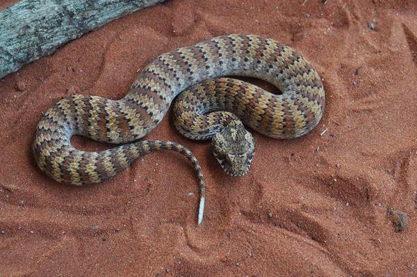 Có bầu nằm mơ thấy rắn là sinh con gái có đúng không?