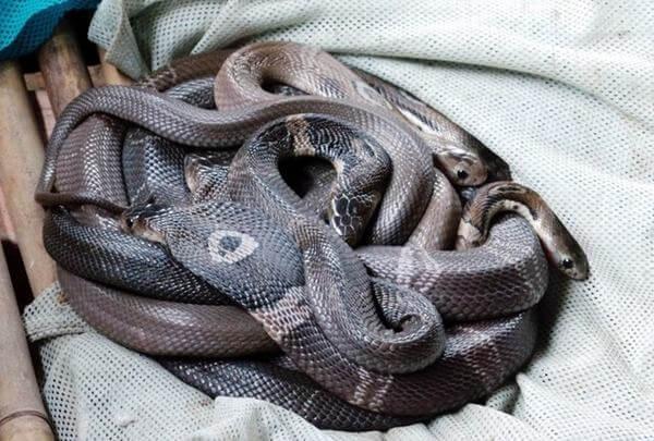 Cách nhận biết rắn độc và rắn không độc