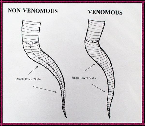 Cách sắp xếp vảy phần đuôi phía sau hậu môn của rắn thường (trái) và rắn độc (phải).