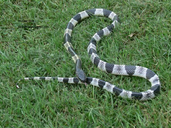 Blue Krait - rắn cạp nong