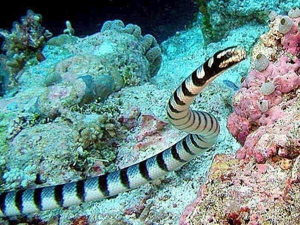 Belcher's Sea Snake - Rắn biển Belcher