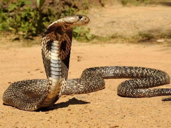 Bà bầu nằm mơ thấy rắn hổ mang điềm lành hay dữ?