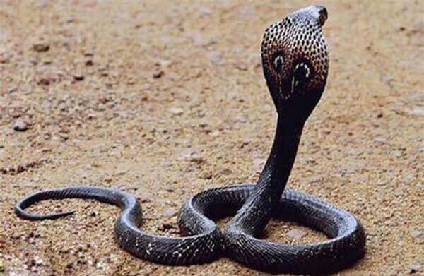 Loài rắn hổ này sống phân bố chủ yếu ở Australia.
