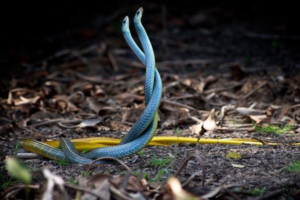Nằm mơ thấy 2 con rắn hay 3 con rắn đánh con gì | Giải mã giấc mơ thấy 2, 3 con rắn