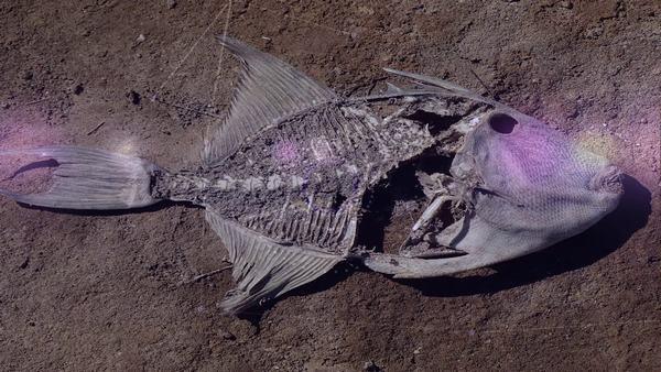 Nằm mơ cá chết là những loại cá cảnh, cá kiểng