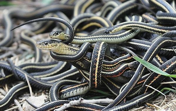 Ý nghĩa nằm mơ thấy nhiều rắn đen tốt hay xấu?