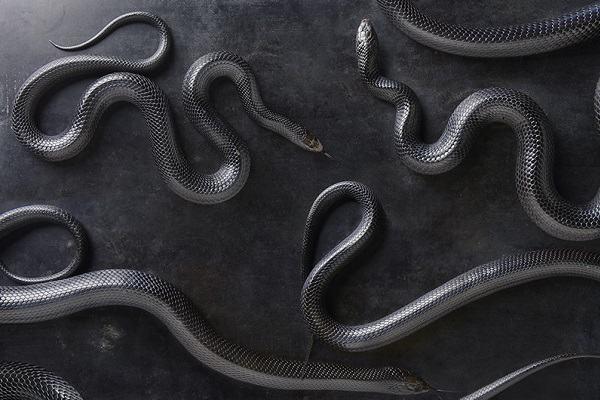 Bà bầu nằm mơ thấy rắn màu đen hoặc đỏ có sao không?