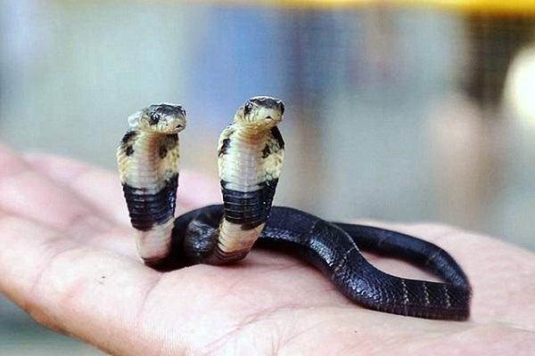 Nằm mơ thấy rắn 2 đầu đánh con gì và điềm báo gì | Giải mã giấc mơ thấy rắn hai đầu tổng hợp
