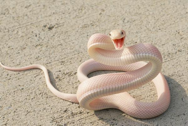 Nằm mơ thấy rắn trắng đuổi theo mình