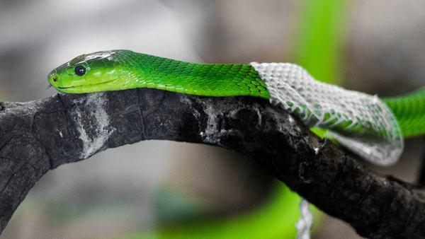 Giải mã giấc mơ thấy rắn lột xác báo điềm gì?