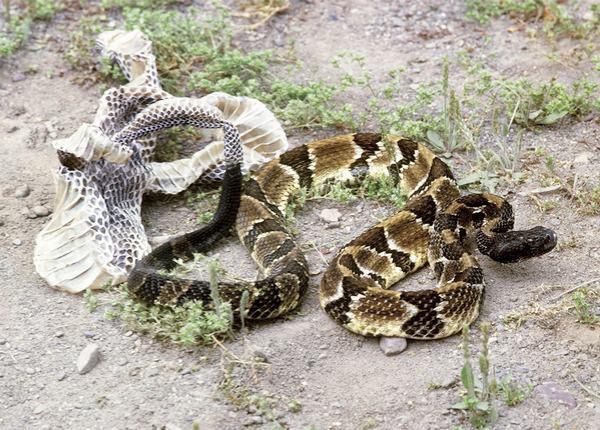 Nằm mơ thấy rắn lột xác đánh con gì, số mấy chính xác?