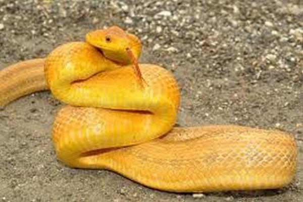 Nằm mơ thấy rắn vàng đánh con gì, số mấy dễ trúng nhất?