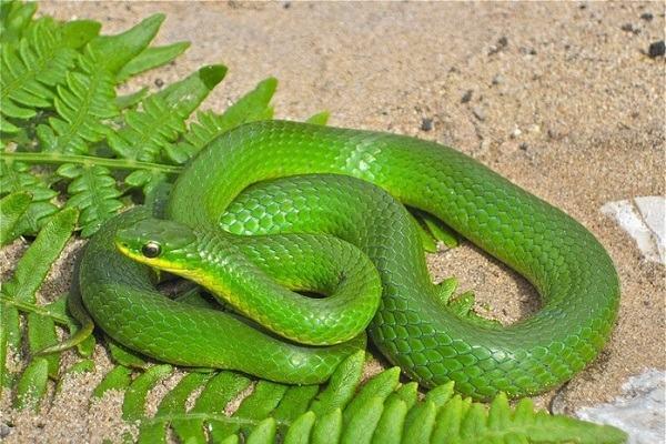 Nằm mơ thấy rắn vào nhà người khác có điềm gì?
