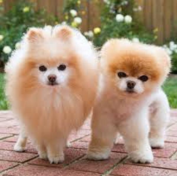 Nằm mơ thấy 2 con chó vàng