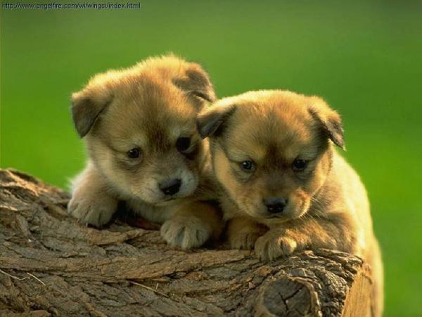 Ngủ mơ thấy hai con chó con đang đuổi nhau