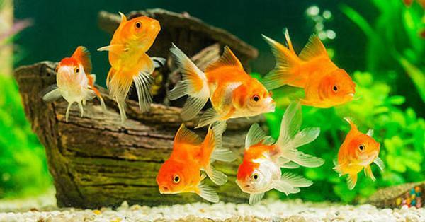 Nằm mơ thấy bắt cá vàng, cá cảnh
