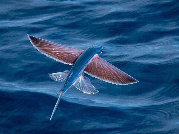 Loài cá biết bay: Cá chuồn (Exocoetidae) là một họ cá biển thuộc Bộ Cá nhói.