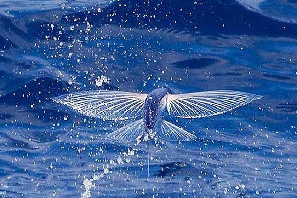 Nằm mơ thấy cá biết bay báo điềm gì | Giải mã giấc mơ thấy cá bay
