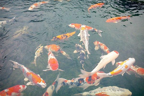 Nằm mơ thấy cá bơi trong nước đánh đề con gì?