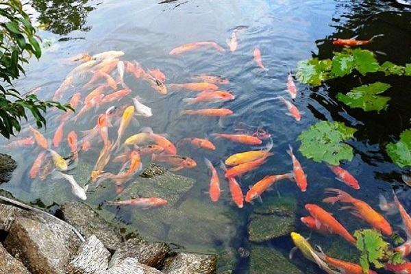 Nằm mơ thấy cá bơi trong nước báo điềm gì | Giải mã giấc mơ thấy cá bơi lội trong bể nước