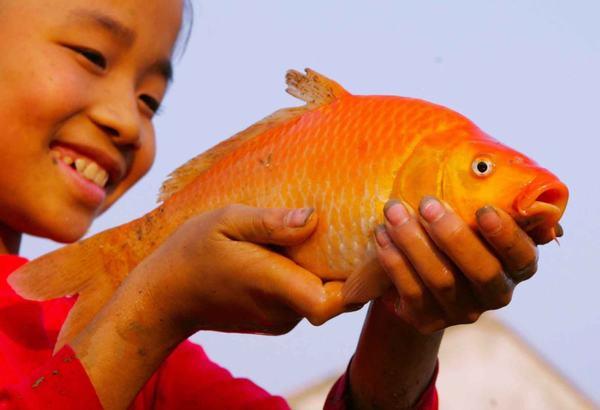 Nằm mơ thấy cá chép đỏ, cá chép hồng