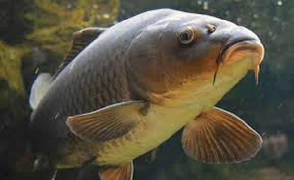 Nằm mơ thấy cá chép cắn nhau