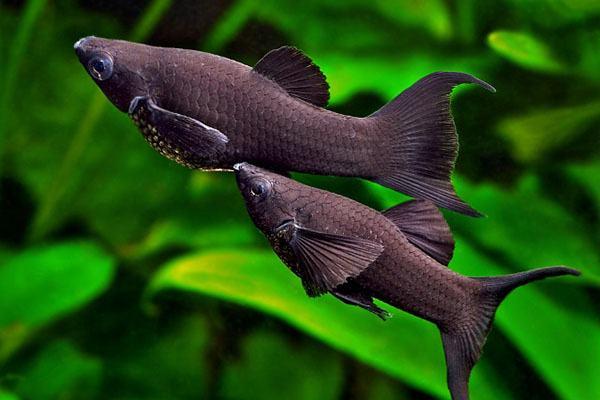 Nằm mơ thấy cá đen nhỏ