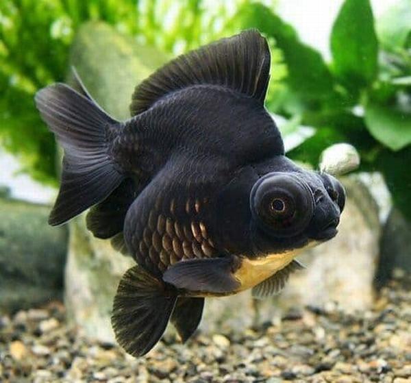 Nằm mơ thấy cá đen đánh con gì, số mấy?