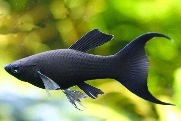Nằm mơ thấy cá đen đánh con gì | Giải mã giấc mơ thấy các loài cá màu đen tổng hợp