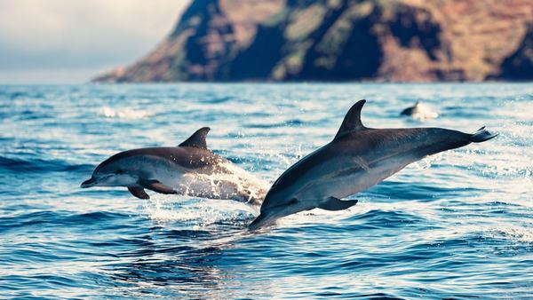 Trên khắp các đại dương bao la rộng lớn tồn tại đến 40 giống loài cá heo.