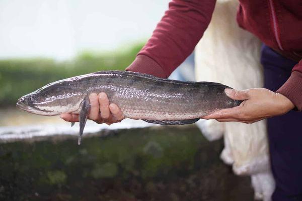 Nằm mơ thấy bắt được cá lóc
