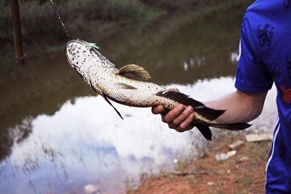 Nằm mơ thấy cá lóc đánh con gì, số mấy | Giải mã giấc mơ bắt cá lóc là điềm gì