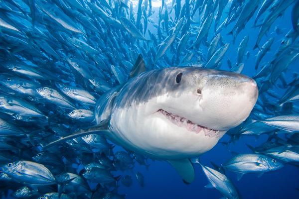 Nằm mơ thấy cá mập bơi xung quanh mình