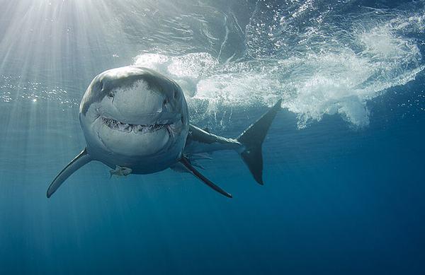 Nằm mơ thấy hai chú cá mập quấn quýt nhau