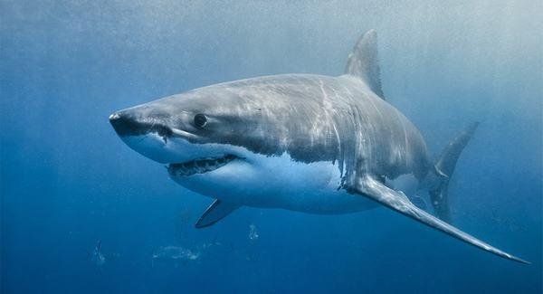 Nằm mơ thấy cá mập đang bơi dưới nước