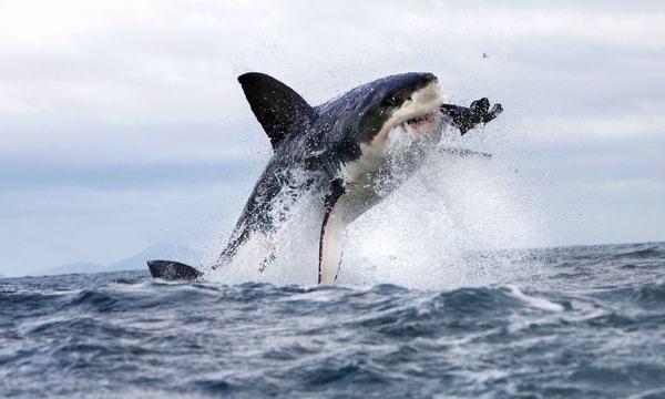 Bạn nằm mơ thấy cá mập đang ăn thịt cá khác