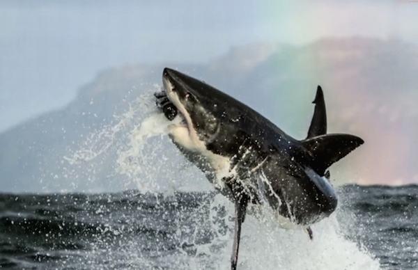 Nằm mơ thấy cá mập đánh đến con số gì?