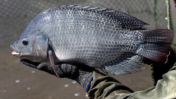 Mơ thấy kéo lưới bắt cá rô phi
