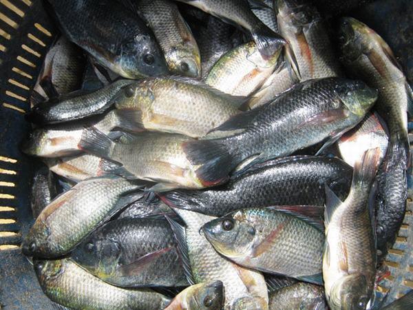 Nằm mơ thấy bắt được nhiều cá rô đồng