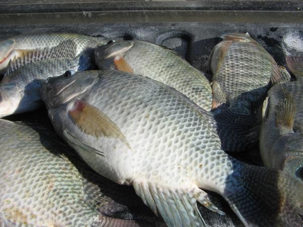 Cá rô (perch) được cho là một trong những loài cá thông dụng phổ biến ở Việt Nam