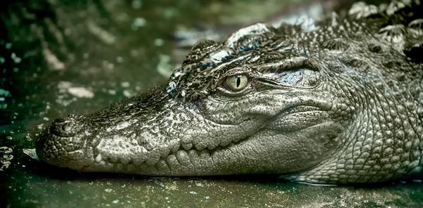 Cá sấu được xếp vào Top đầu những loài động vật cấp cao và có khả năng đẻ trứng
