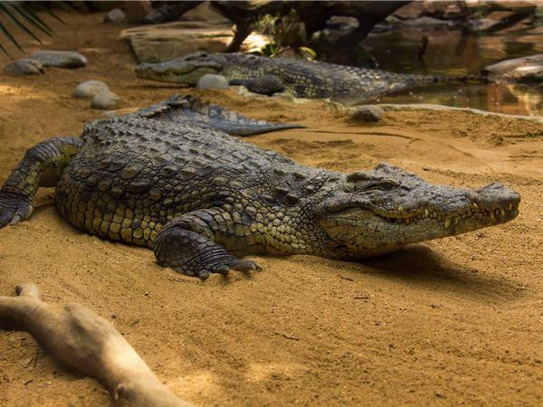 Mũi của cá sấu nằm ở ngay phần hàm trên