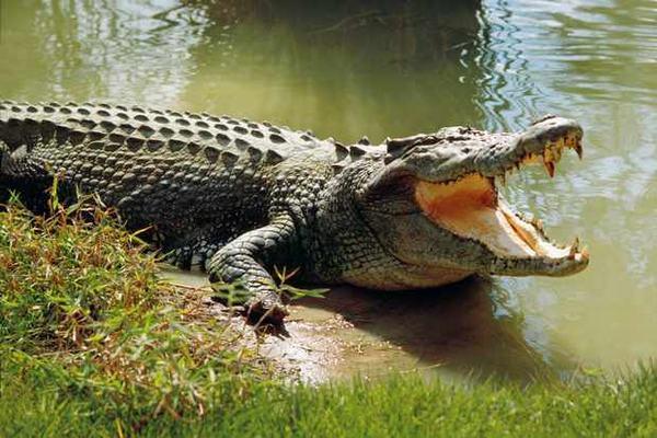 Nằm mơ thấy mình bị cá sấu bơi đuổi theo dưới nước