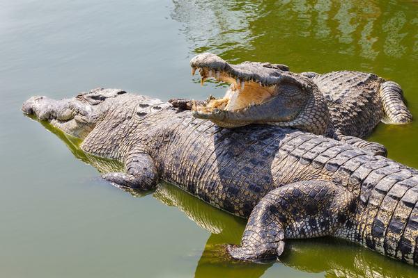 Nằm mơ thấy hai con cá sấu đang đánh nhau, cắn nhau