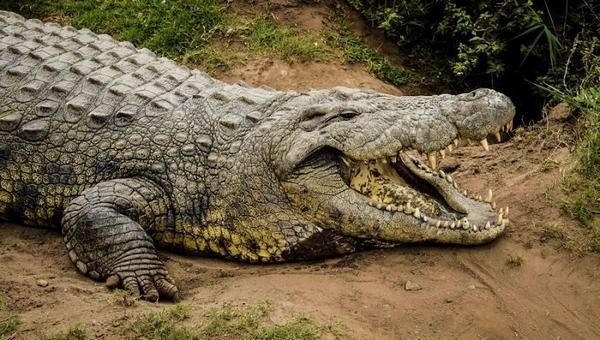 Nằm mơ thấy một con cá sấu đang bơi về phía bạn