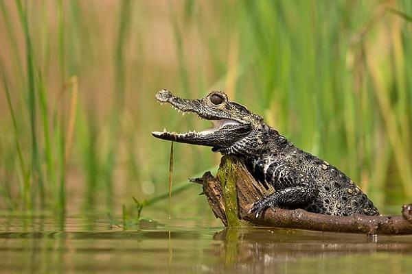 Nằm mơ thấy cá sấu đánh con gì | Giải mã giấc mơ thấy cá sấu là điềm gì, tốt hay xấu?