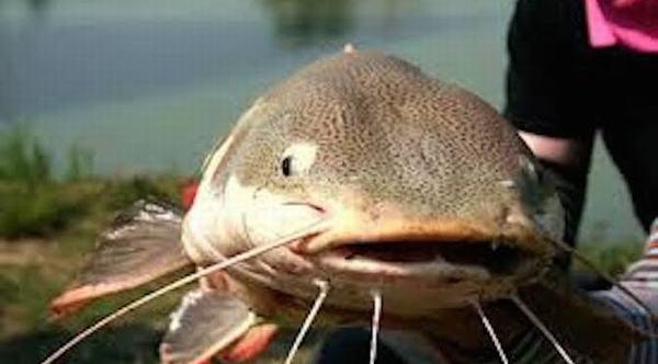 Nằm mơ thấy đi câu được cá trê