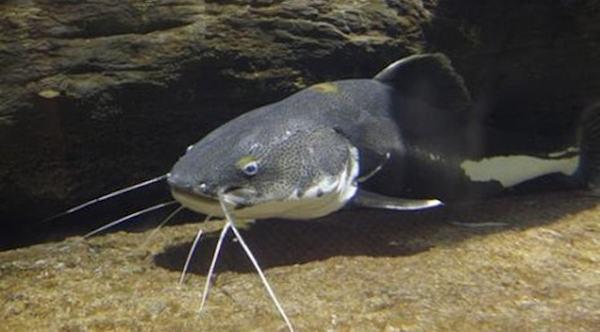 Nằm mơ thấy cá trê đen