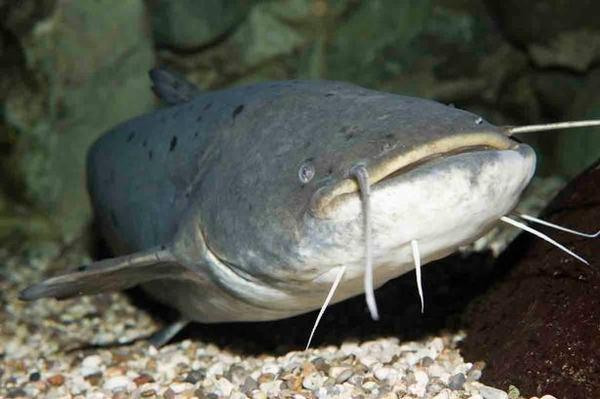 Danh pháp khoa học của cá trê được gọi là Clariidae.