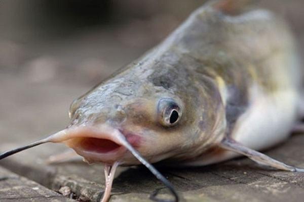 Nằm mơ thấy cá trê đánh con gì | Giải mã giấc mơ cá trê báo điềm gì?
